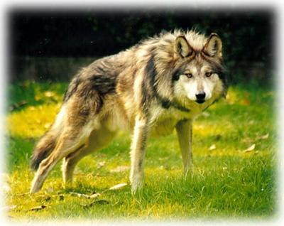 Causas De Extinción Del Lobo Gris Mexicano Agosto 2014