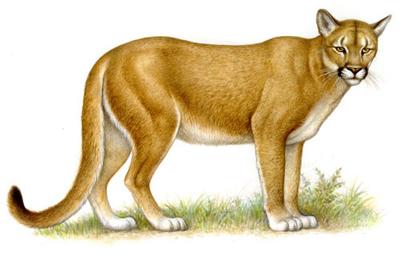 puma animal caracteristicas