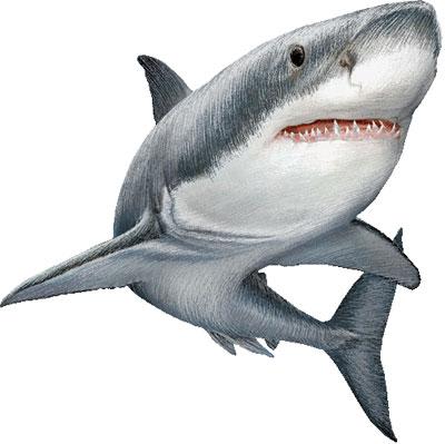 Especies en peligro de extinción: Tiburón blanco