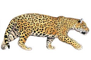 Especies en peligro de extincin  Yaguaret