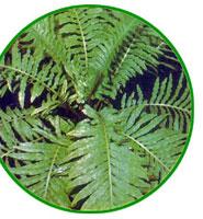 Helecho - Pteridófitas