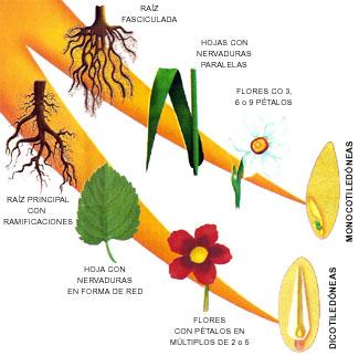 Gráfico de la diferencia entre monocotiledóneas y dicotiledóneas