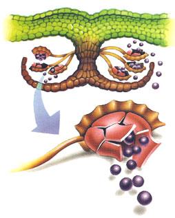 En que consiste la reproduccion asexual por esporas en las plantas