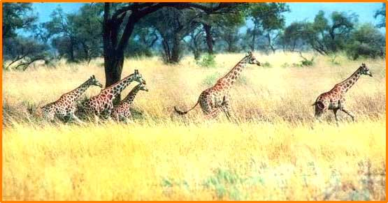 landscape of the savanna