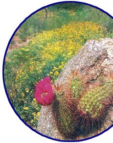 Cactus rastrero