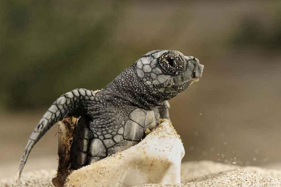 Nacimiento de una tortuga marina
