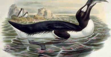 Alca gigante (Pinguinus impennis)