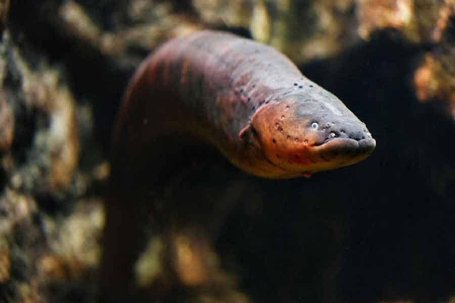 Anguila de río