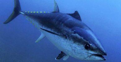 Atún rojo (Thunnus thynnus)