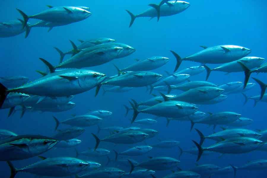 Migración del atún