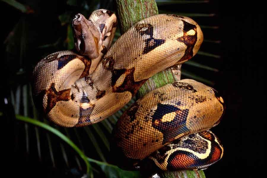 Boa (Boa constrictor)