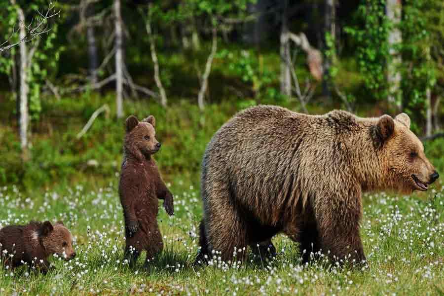 Oso con sus crías