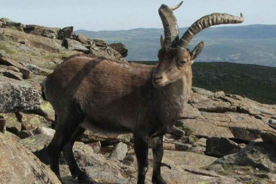 Bucardo (Capra pyrenaica pyrenaica)