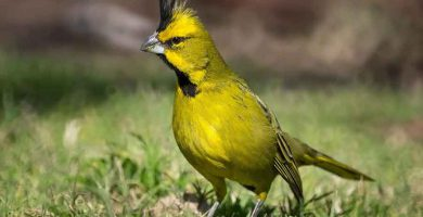 Cardenal amarillo (Gubernstrix cristata)