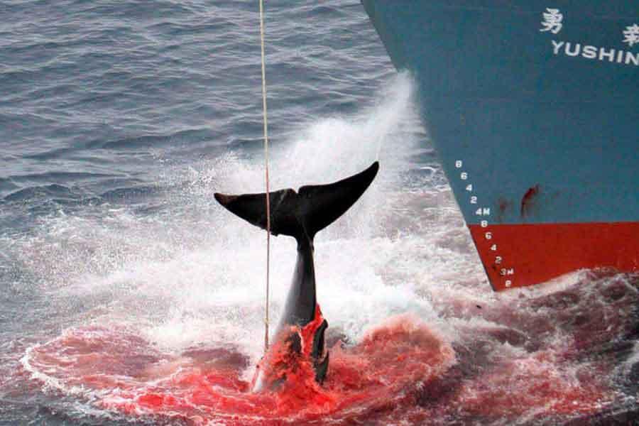 Japón y la caza de ballenas