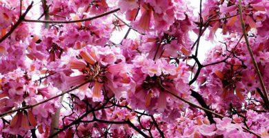 Lapacho en flor