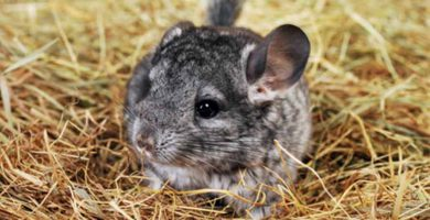Chinchilla de cola larga (Chinchilla lanigera)