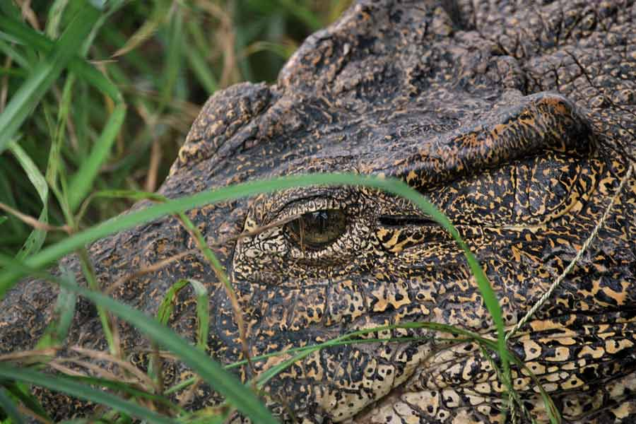 Cocodrilo cubano (Crocodylus rhombifer)