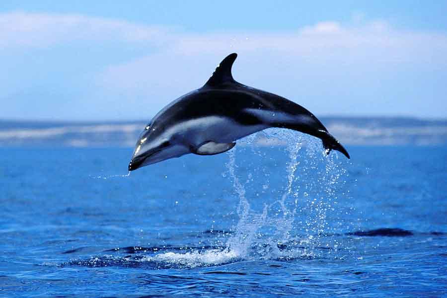 Delfín oscuro