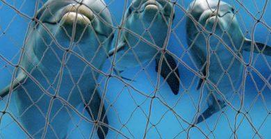 Delfines atrapados