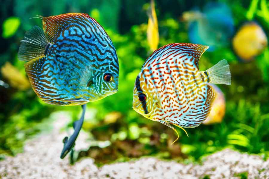 Leche de pez