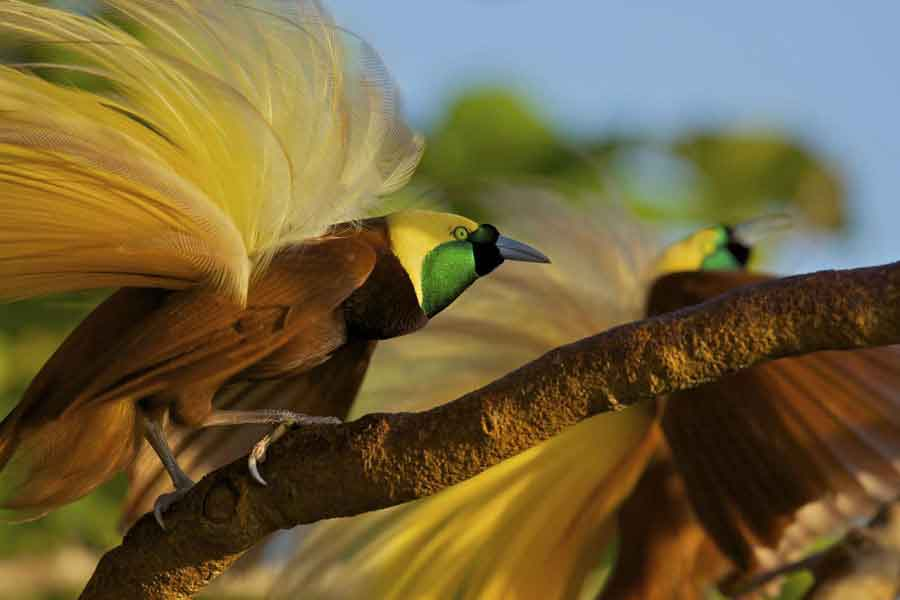 Aves cortejando