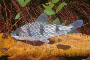 Otros peces del Paraná