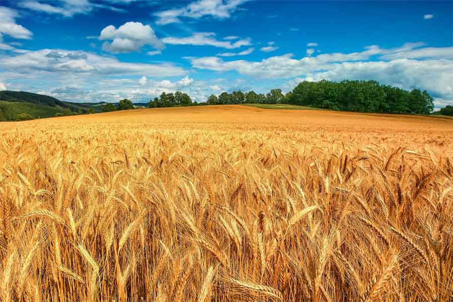 Campos con trigo