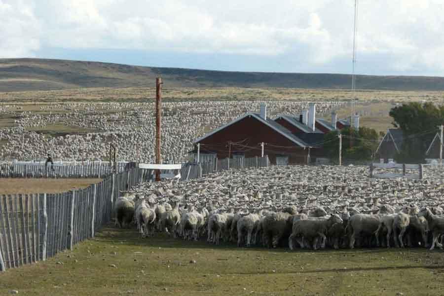 Cría de ovejas