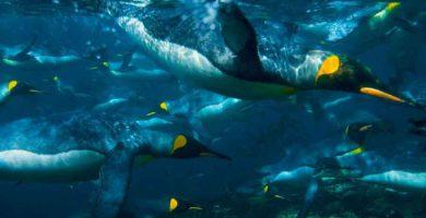 Pinguinos nadando