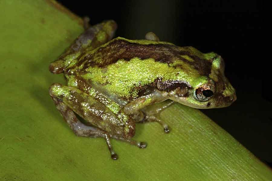 Coqui grillo (Eleutherodactylus gryllus)