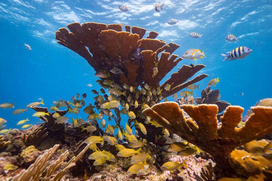 Coral (Antipathes ules, grandis, bichitoea)