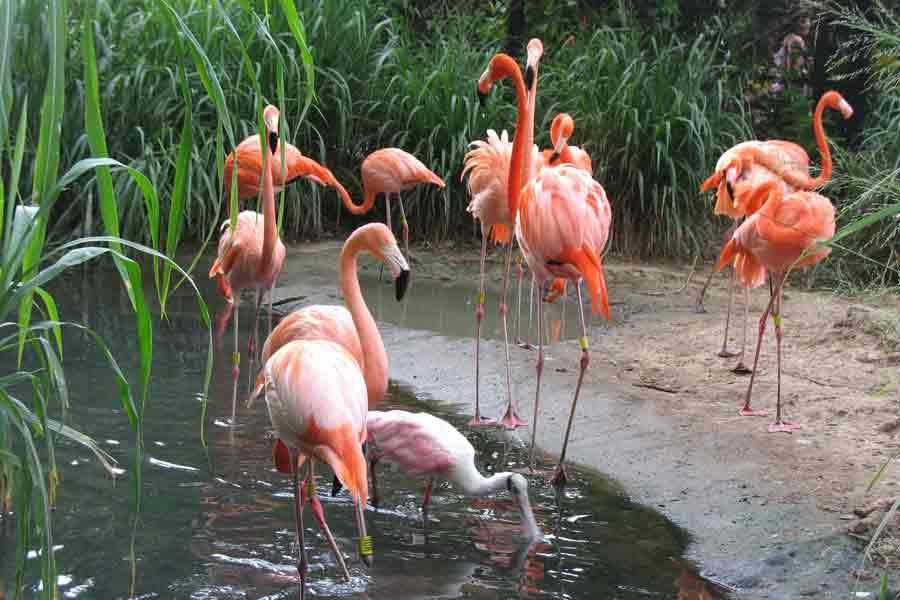 Flamenco rosado (Phoenicopterus ruber)