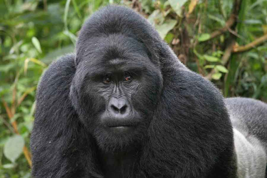 Gorila oriental