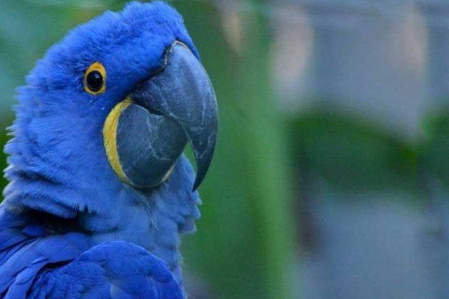 Guacamayo azul (Anodorhyncus Glaucus)