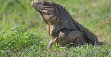 Iguana cubana (Cyclura nubila)