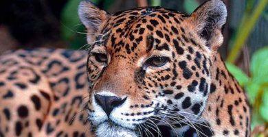 Jaguar - Yaguareté