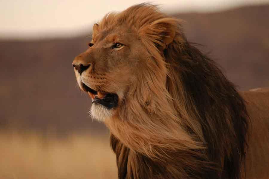 León del Atlas (Panthera leo leo)