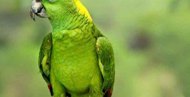 Lora de nuca amarilla (Amazona auropalliata)