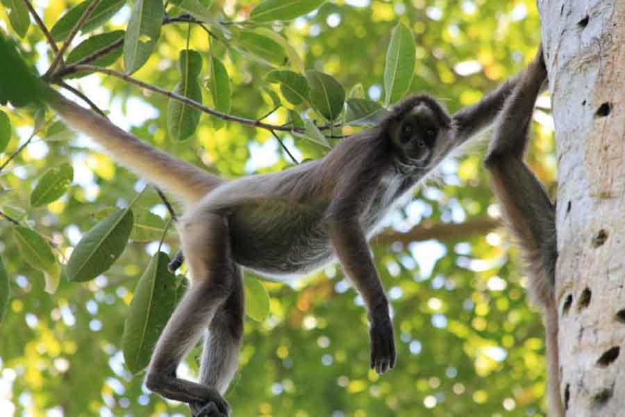 Mono araña de cabeza café (Ateles fusciceps)