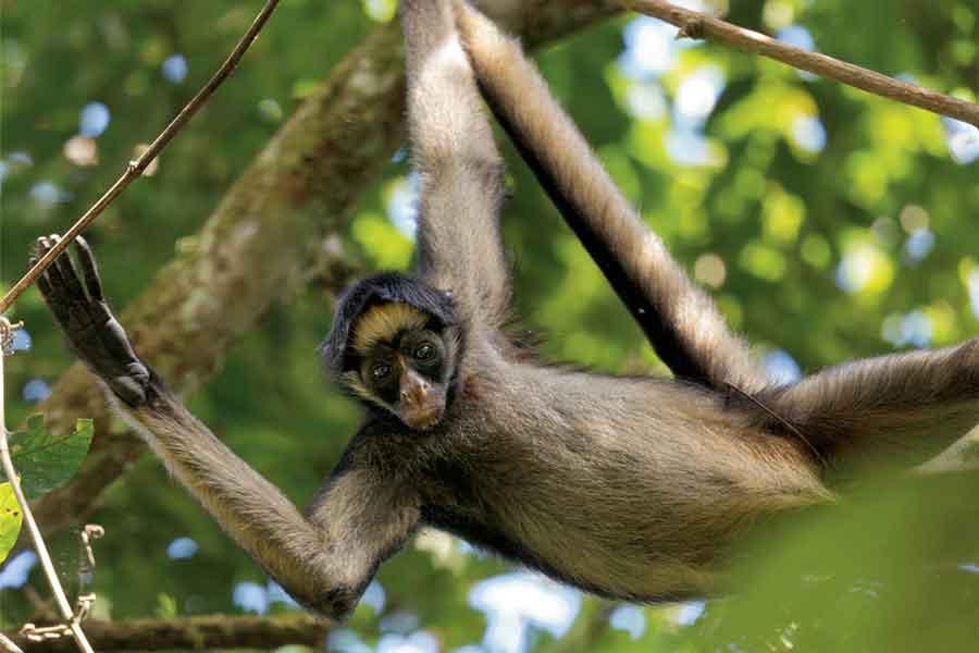 Mono araña (Ateles geoffroyi)