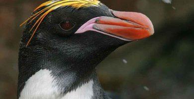 Pinguino penacho anaranjado