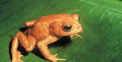 Sapo dorado (Incilius - Bufo periglenes)