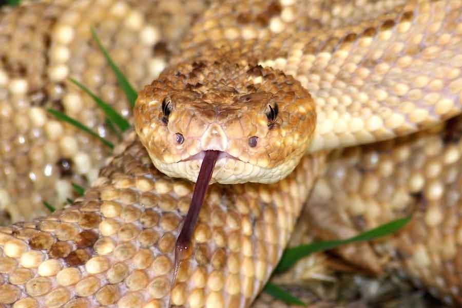 Serpiente de cascabel de Aruba (Crotalus unicolor)