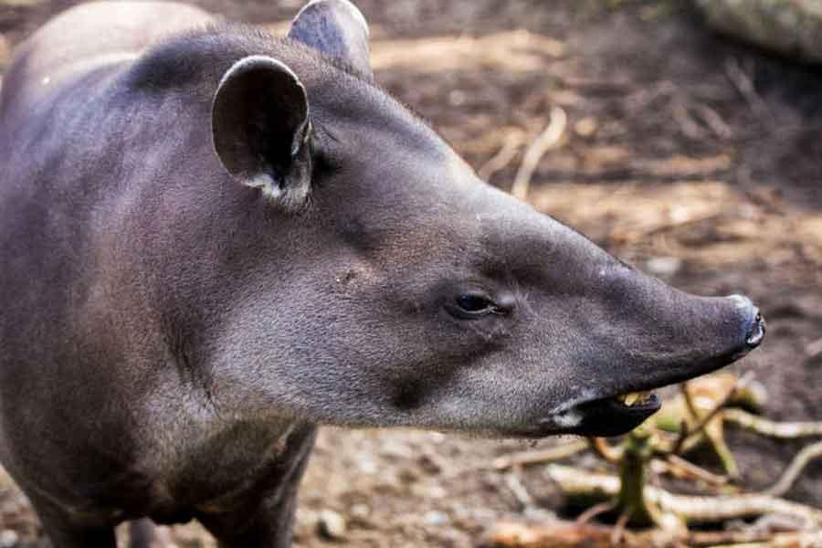 Tapir (Tapirus bairdii)