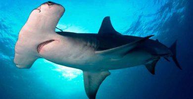Tiburón martillo gigante (Sphyrna mokarran)