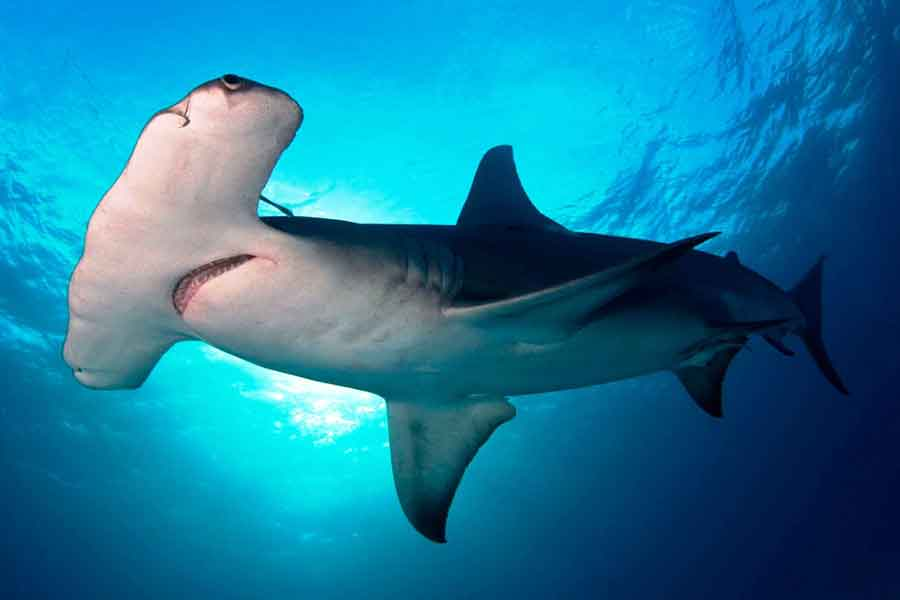 Tiburón Martillo Gigante Sphyrna Mokarran Barrameda Com Ar
