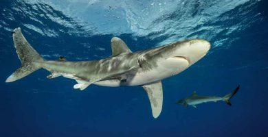 Tiburón oceánico (Carcharhinus longimanus)