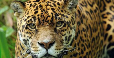 Yaguareté (Panthera onca)