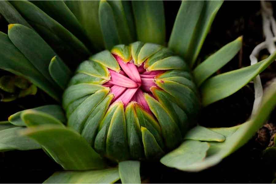 La flora del páramo - Zinni común